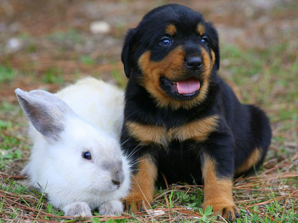 Small Puppy Of Rottweiler And Rabbit Wallpaper
